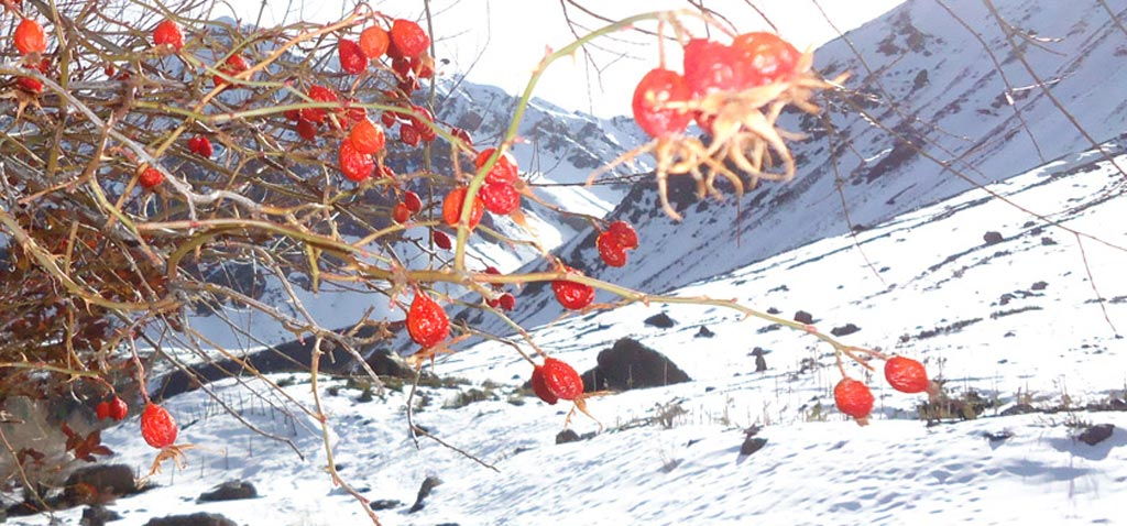 Rose hips in the Andes