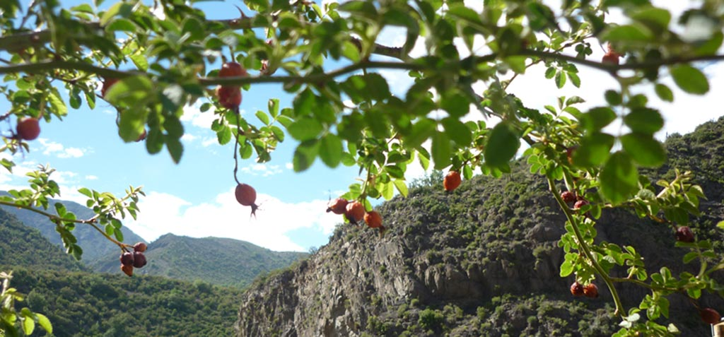 Rosehips in the Andes