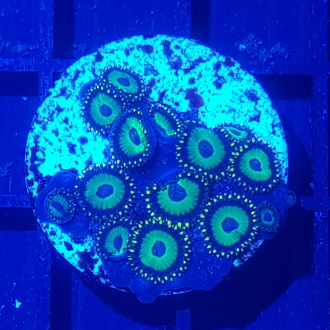WYSIWYG Coral 153 - Kryptonite Zoas