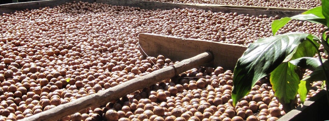 macadamia nut that they use for oil