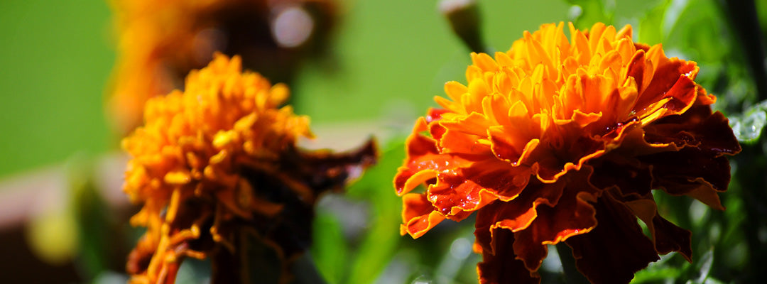 Marigold or Calendula officinalis