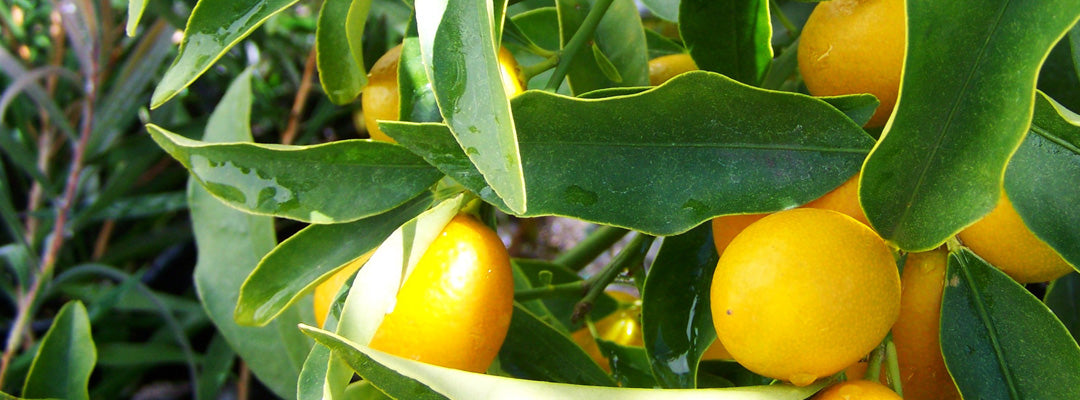 lemon extract for skincare