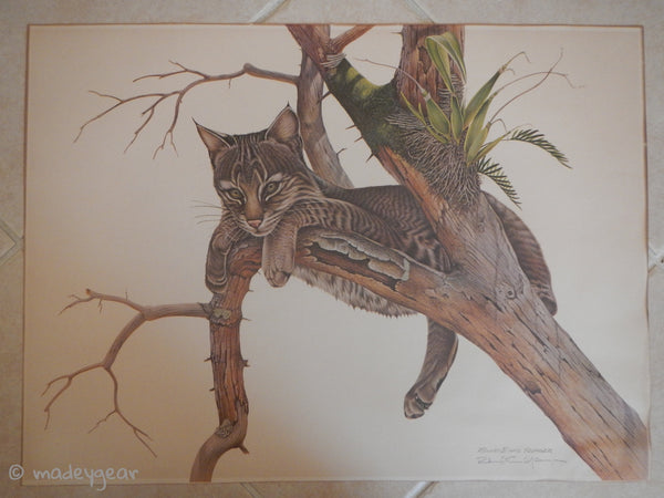 1973 Yearling Young Bobcat Print Wildlife~ Signed Richard Evans Younger