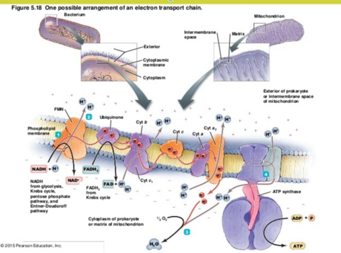 Trojan Horse | Electron Transport Chain Diagram