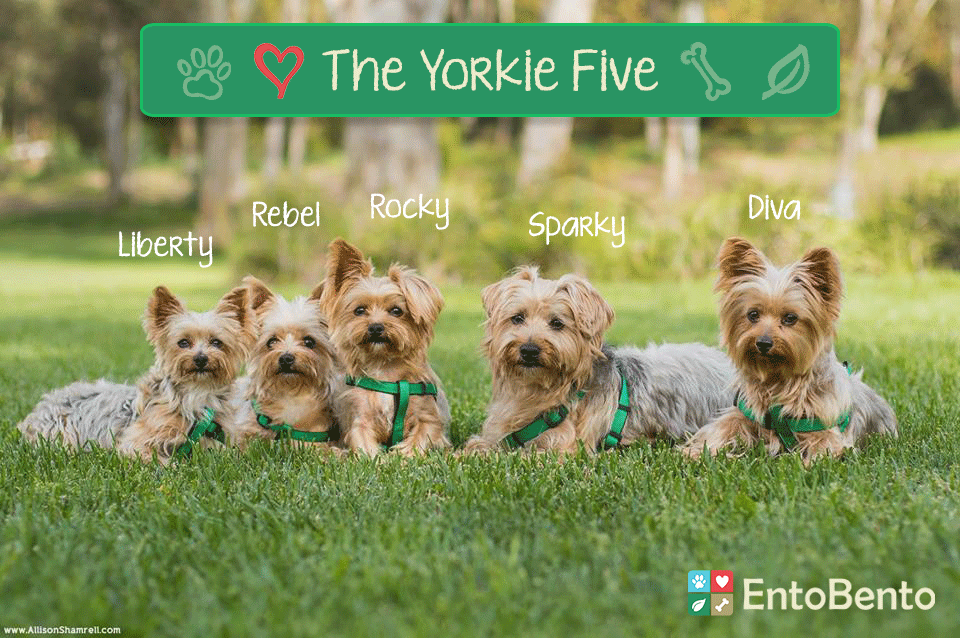 the yorkie five