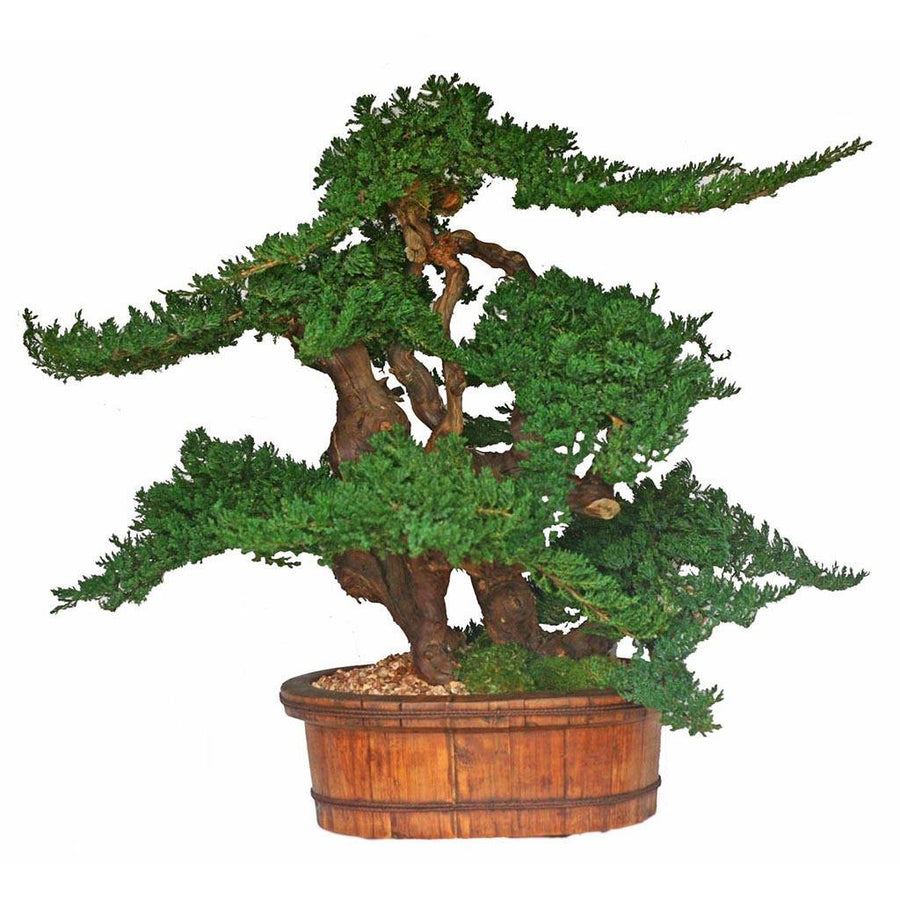 "36"" Vintage Bonsai - Cece & Me - Home and Gifts"