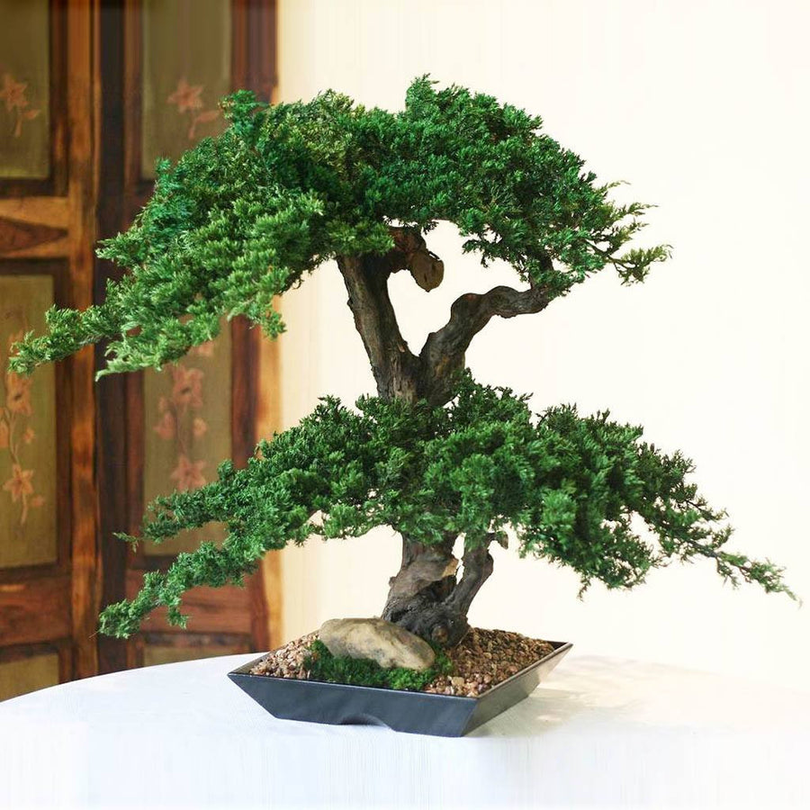 Double Double Monterey Bonsai - Cece & Me - Home and Gifts