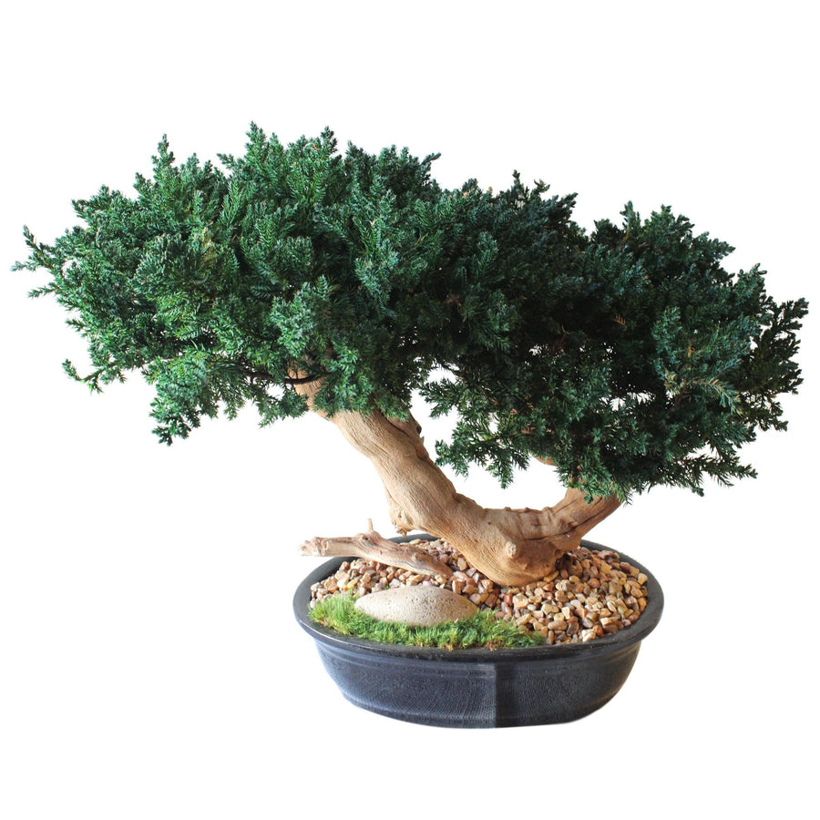Double Bonsai Sandblasted - Cece & Me - Home and Gifts