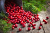 Everything you wanted to know about Cranberries!