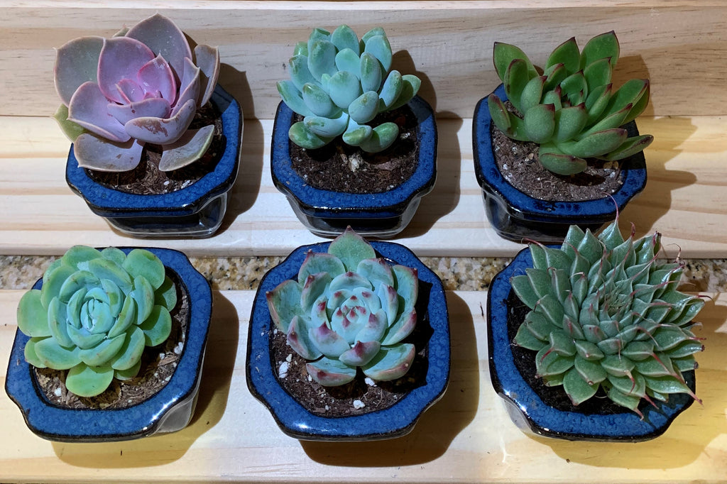 "2"" Assorted Succulents /w Small Bonsai pot - Set of 6 (A)"