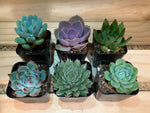 "2"" Assorted Succulents /w Plastic Pot - Set of 6 (A)"