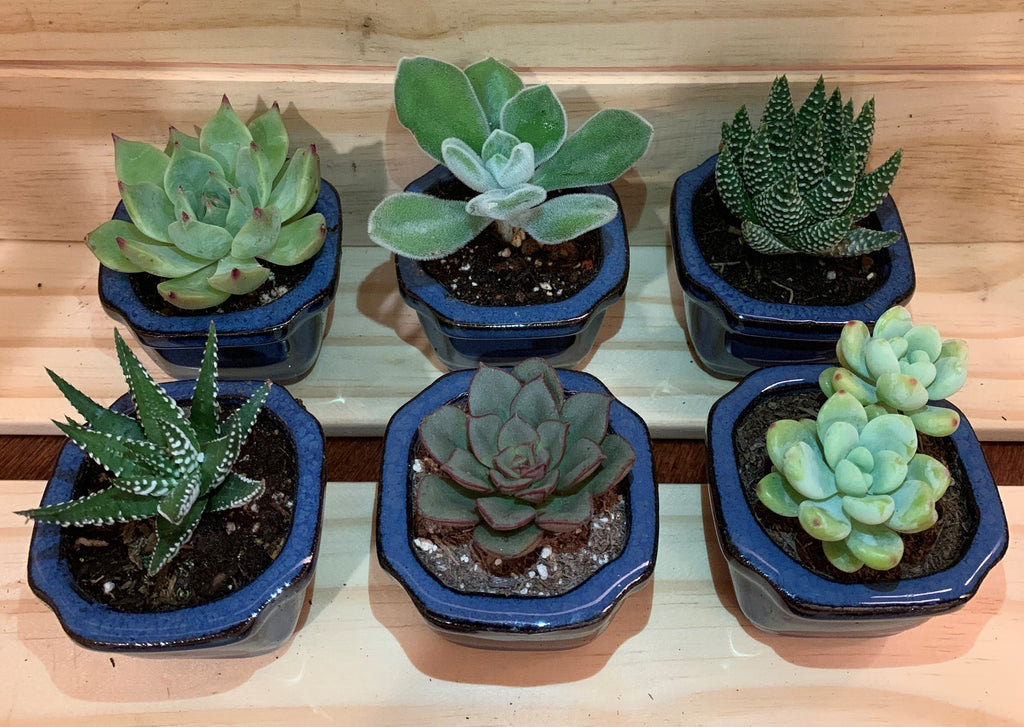 "2"" Assorted Succulents /w Small Bonsai pot - Set of 6 (B)"