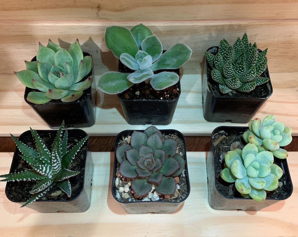 "2"" Assorted Succulents /w Plastic Pot - Set of 6 (B)"