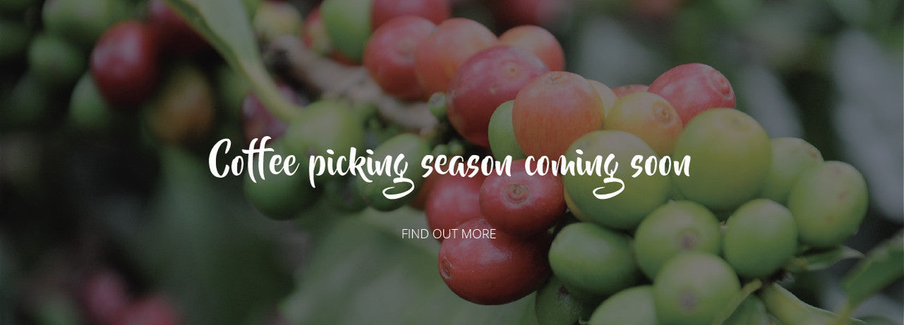 coffee picking season