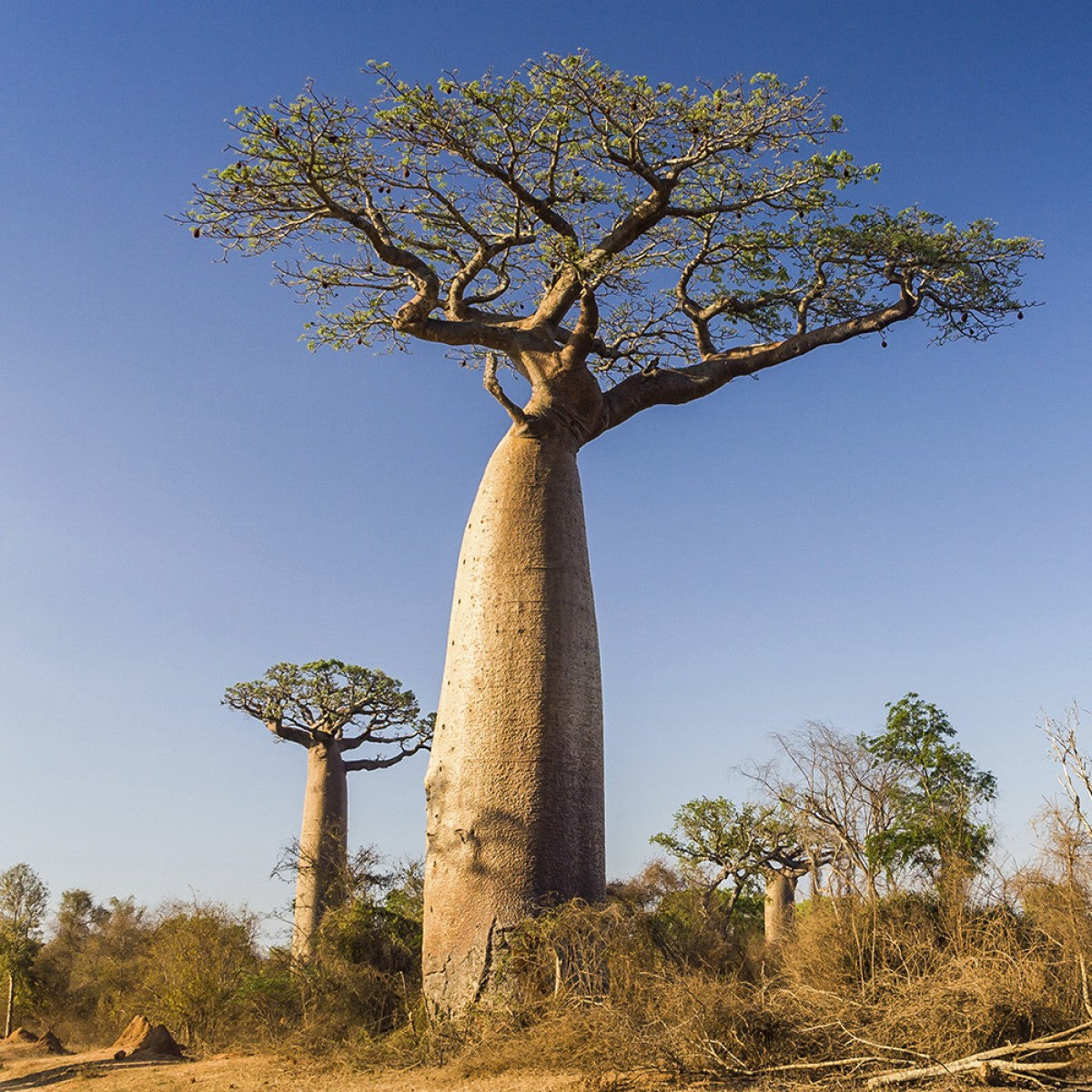 WHAT'S IN YOUR BLNDN? SPOTLIGHT ON BAOBAB SEEDS