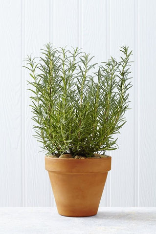 rosemary bush remembrance gift