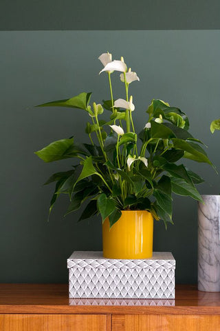 Anthurium Plant Pot
