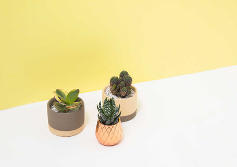 BYDEAU Hong Kong Succulents | Best Indoor Plants