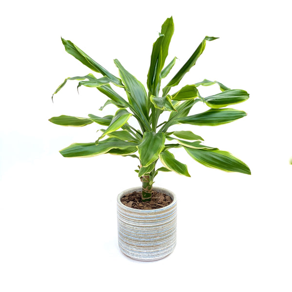 The Benjamin | House Plant in Ceramic Pot | BYDEAU Hong Kong
