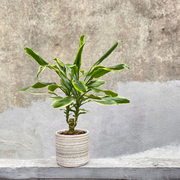 The Benjamin | Office Plants | BYDEAU Hong Kong