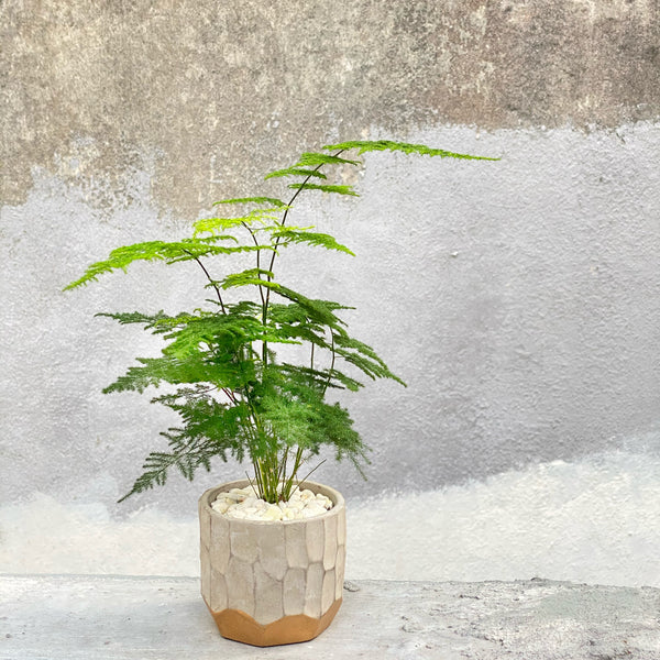 The Archie | Buy Office Plants | BYDEAU Hong Kong