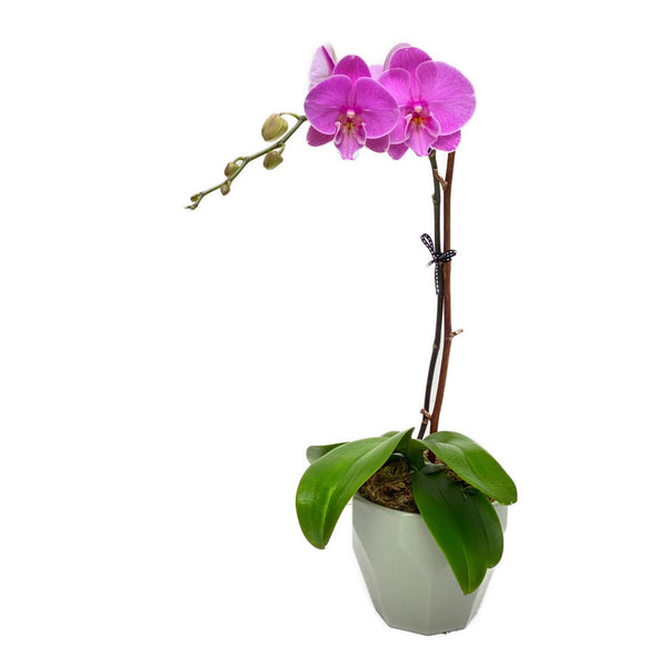 pink potted orchid | BYDAEU Hong Kong