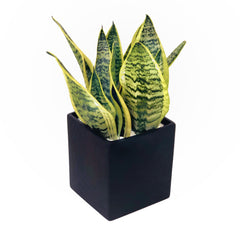 The Simon Snake Plant Pot Hong Kong