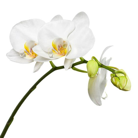 white potted moth orchids | BYDEAU Hong Kong