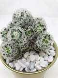 cactus fresh plant greenery online delivery hong kong