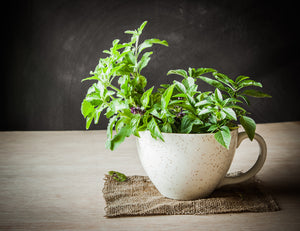 Tulsi - The miracle herb