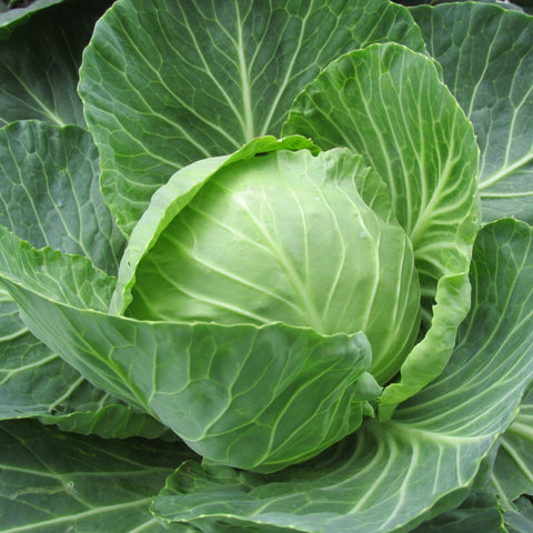Cabbage - weight loss diet