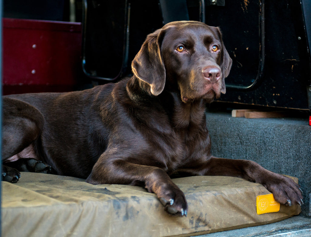 Chocolate Labrador sitting on Hixx natural bed in a Land Rover Defender