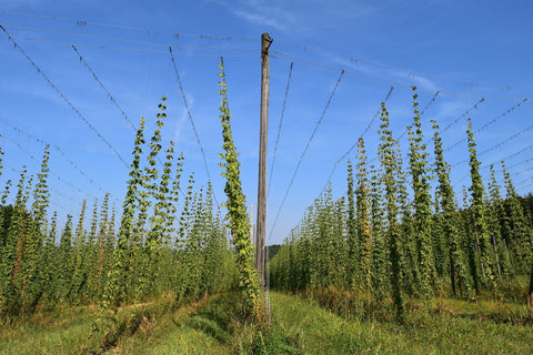 Hops at the top of the wire
