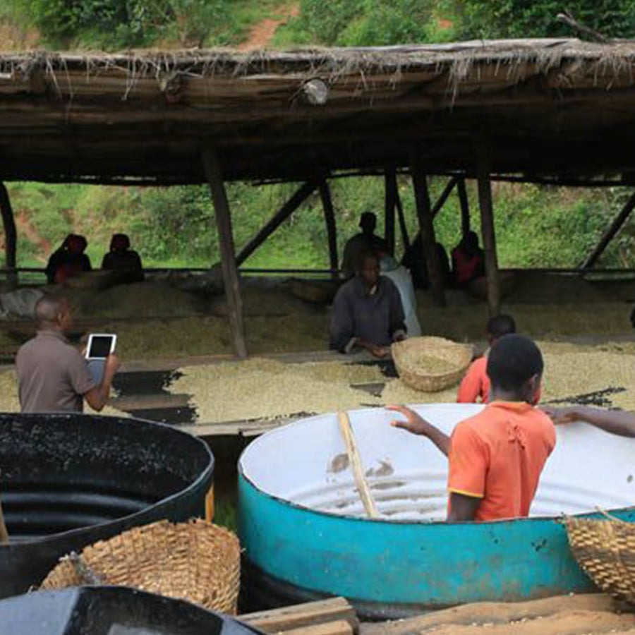 Coffee Burundi N'Ikawa Kazoza farm drying station