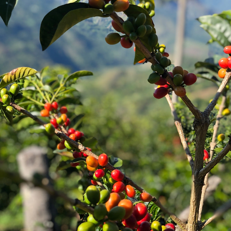 Close up of coffee fruit on a coffee tree