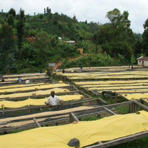 Coffee Bean drying fields, raised beds