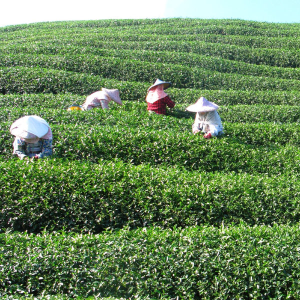 High Mountain tea being picked!