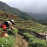 Tea picker at the Baochong tea farm.