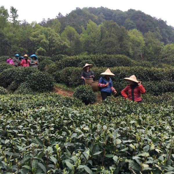 Dragonwell farm with tea pickers returning from harvesting.