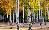 birch trees gold leaves wallpaper