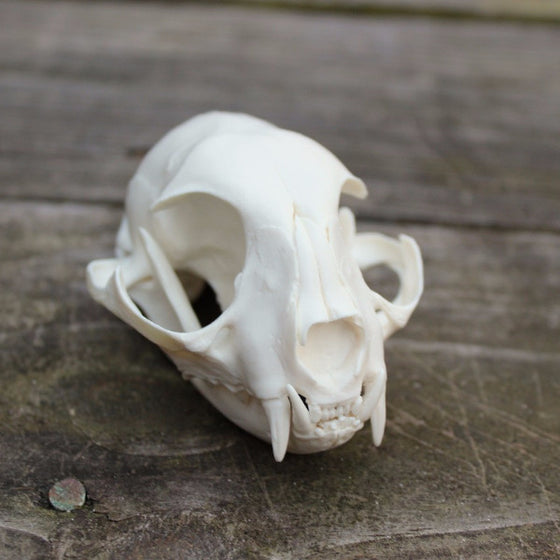 domestic cat resin replica skull