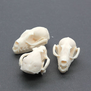 fruit bat skull replica