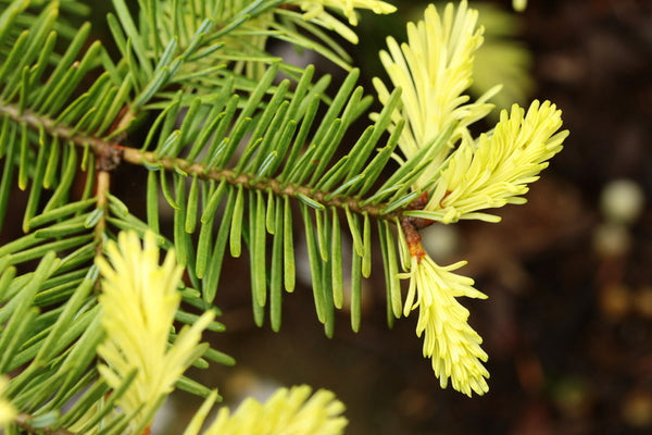Abies balsamea 'Old Ridge' (Balsam Fir)