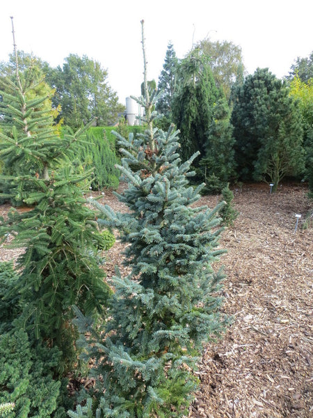 Abies balsamea 'Tyler Blue'