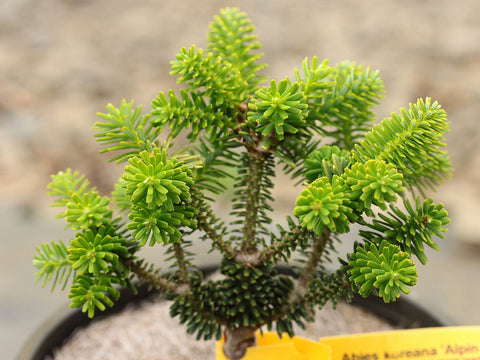 Abies koreana 'Alpine Star' (aka Alpine Star Korean Fir)