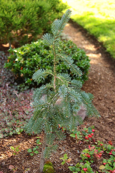 Abies lasiocarpa 'Blue Waterfall'