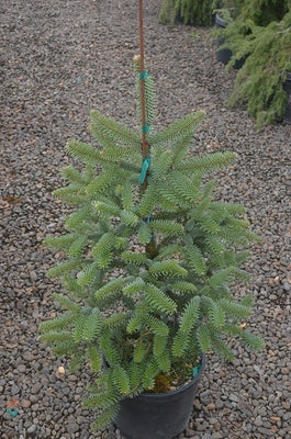 Abies pinsapo 'Solton' (aka Spanish Fir)
