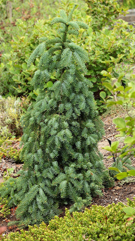 Abies procera 'La Graciosa' (aka Noble Fir)