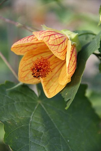 Abutilon 'High Noon' (aka Flowering Maple)