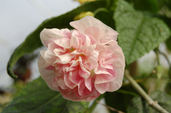 Abutilon 'Victorian Lady' (aka Flowering Maple)